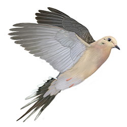 Mourning Dove Flight Illustration
