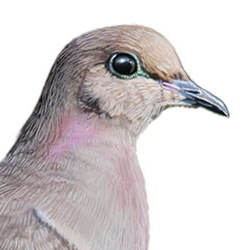 Mourning Dove Head Illustration