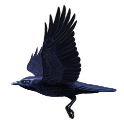 American Crow Flight Illustration