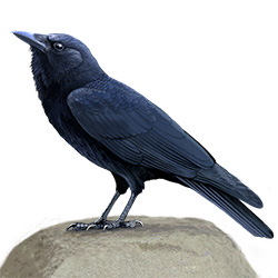 American Crow Body Illustration