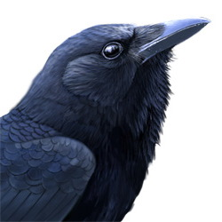 American Crow Head Illustration