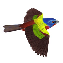 Painted Bunting Flight Illustration