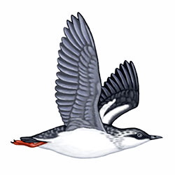 Pigeon Guillemot Flight Illustration