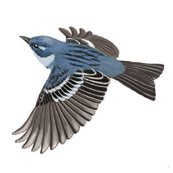 Cerulean Warbler Flight Illustration