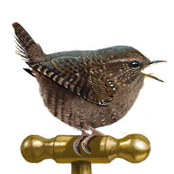 Pacific Wren Body Illustration