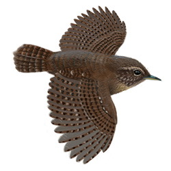 Pacific Wren Flight Illustration