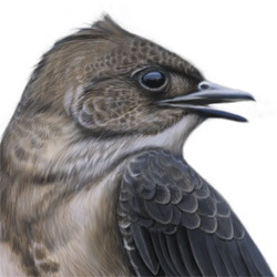 Brown-chested Martin Head Illustration
