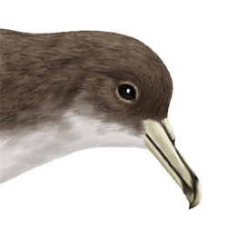 Cape Verde Shearwater Head Illustration