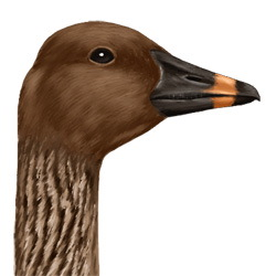 Tundra Bean Goose Head Illustration
