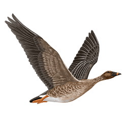 Tundra Bean Goose Flight Illustration