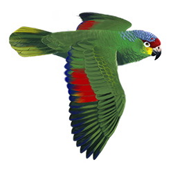 Red-lored Parrot Flight Illustration