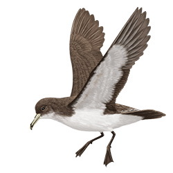 Cape Verde Shearwater Body Illustration
