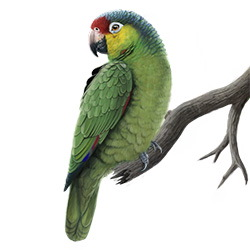 Red-lored Parrot Body Illustration