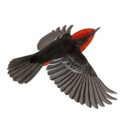 Vermilion Flycatcher Flight Illustration
