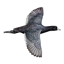 American Coot Flight Illustration.jpg