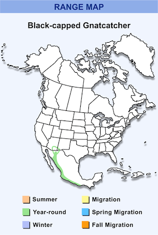 Range Map for Black-capped Gnatcatcher HD