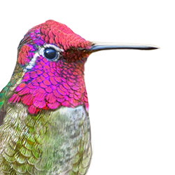 Anna's Hummingbird Head Illustration