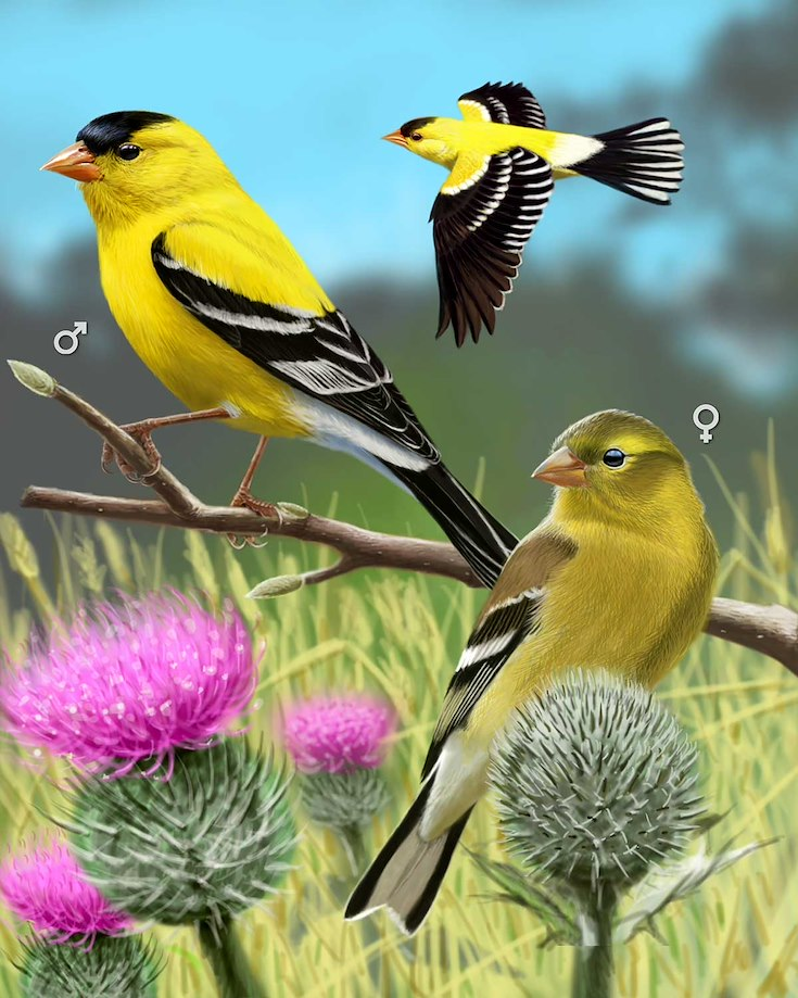 American Goldfinch_CEPortrait_1200