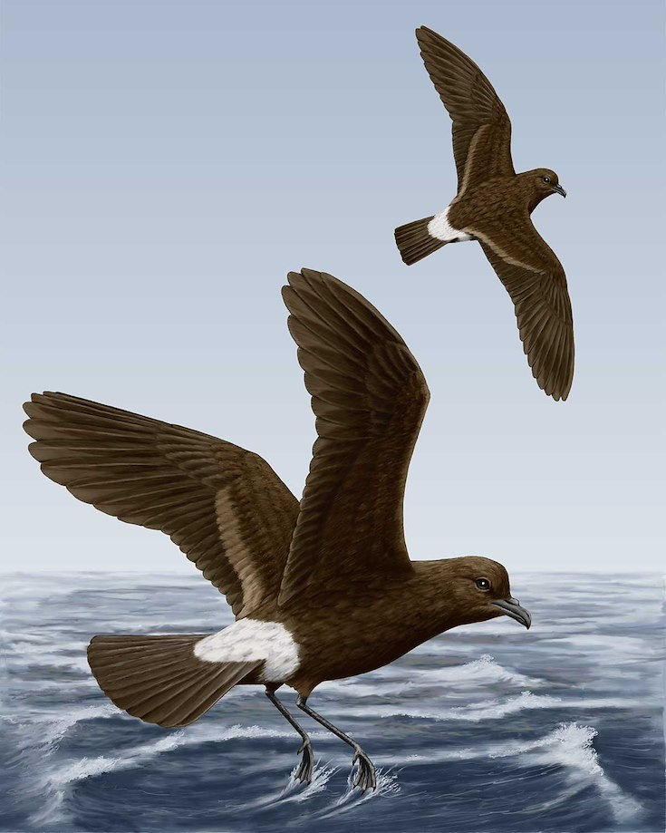 Band-rumped Storm-Petrel_CEPortrait_1200