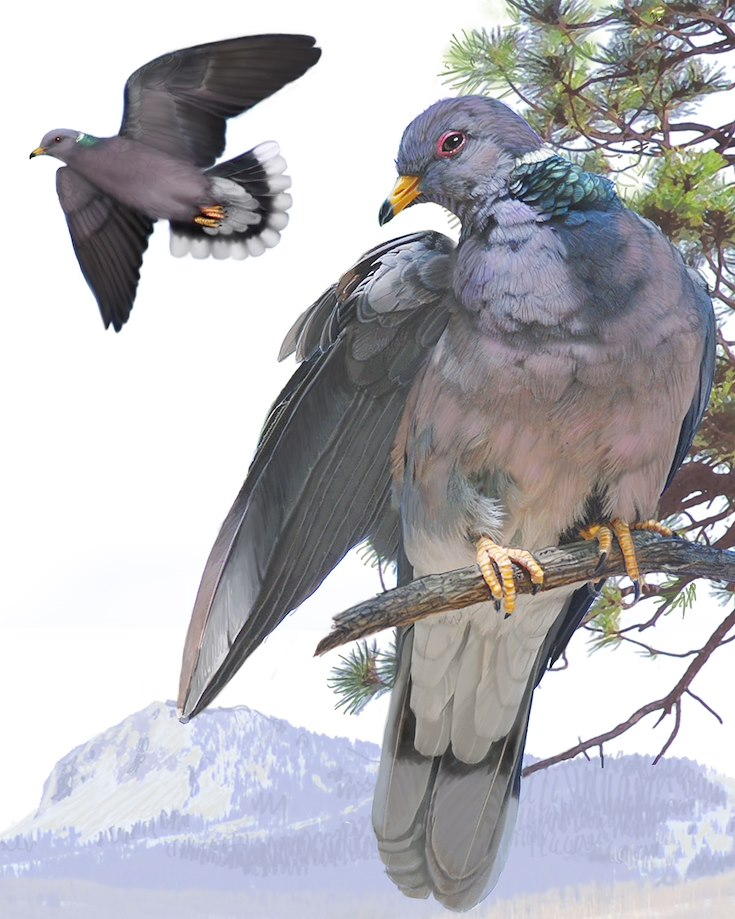 Band-tailed Pigeon_CEPortrait_1200