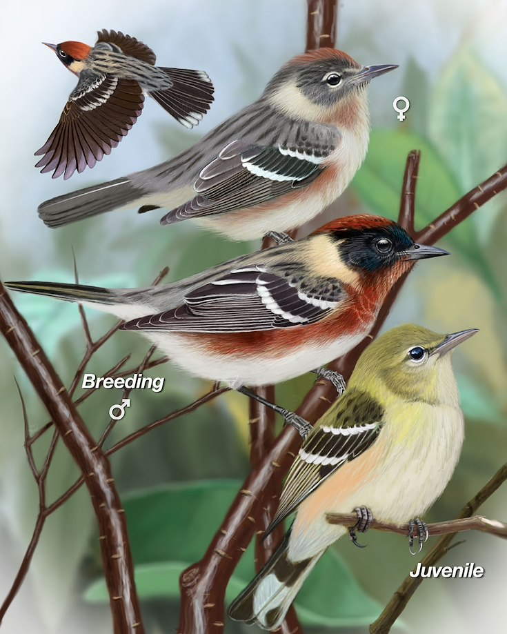 Bay-breasted Warbler_CEPortrait_1200
