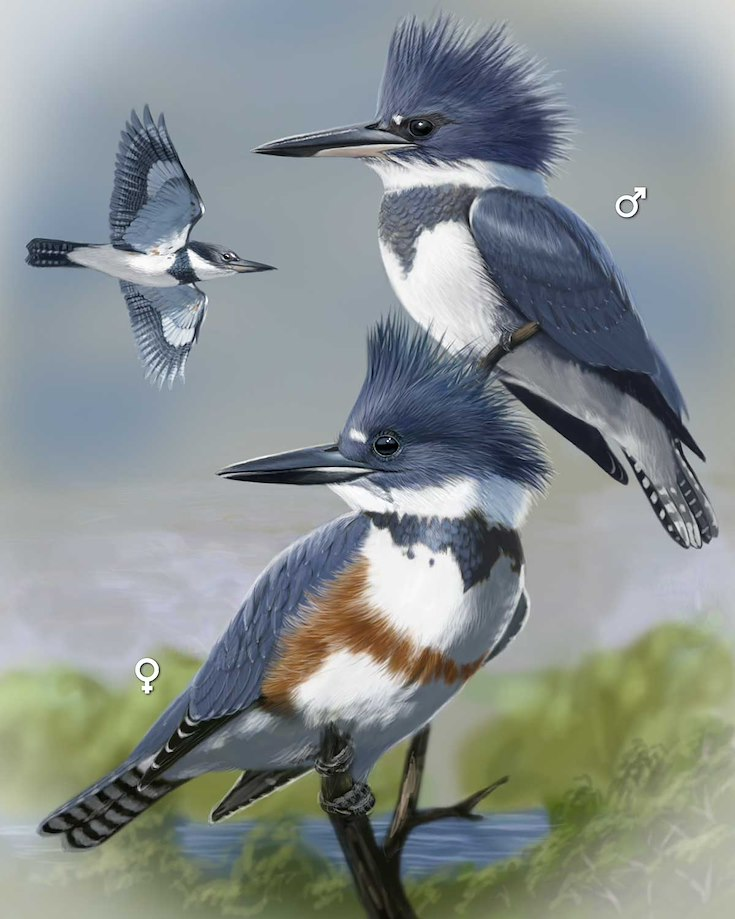 Belted Kingfisher_CEPortrait_1200