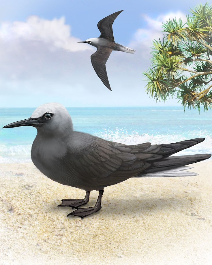 Black Noddy_CEPortrait_1200