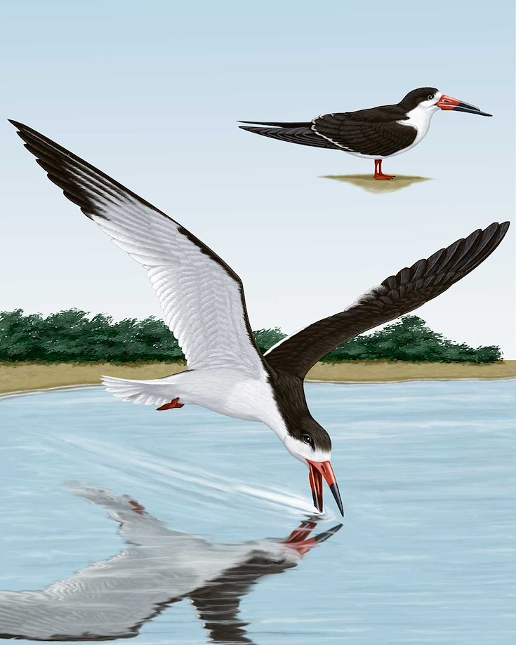 Black Skimmer_CEPortrait_1200