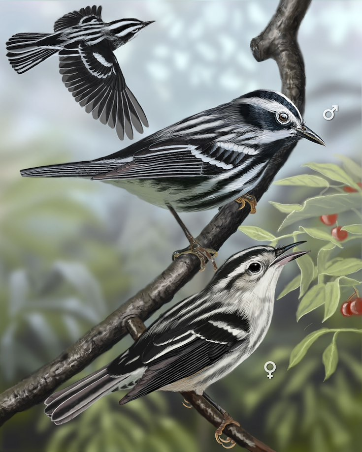 Black-and-white Warbler_CEPortrait_1200