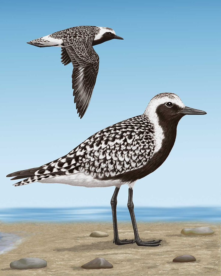 Black-bellied Plover_CEPortrait_1200