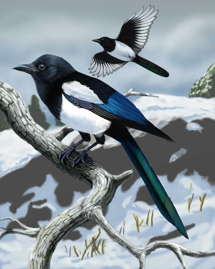 Black-billed Magpie_CEPortrait_1200