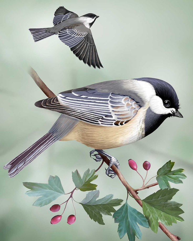 Black-capped Chickadee_CEPortrait_1200