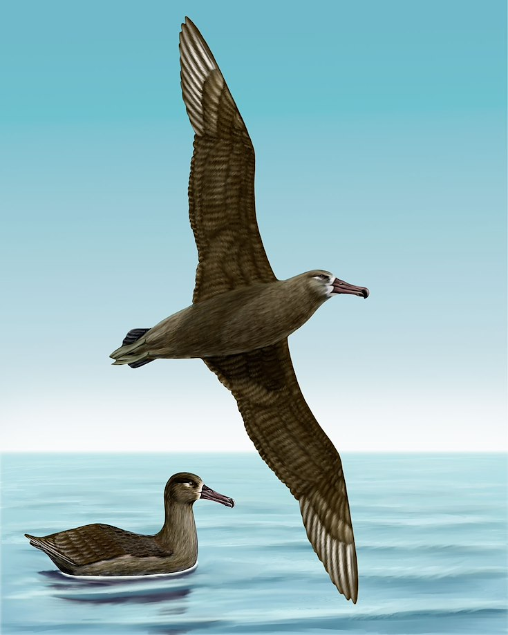 Black-footed Albatross_CEPortrait_1200
