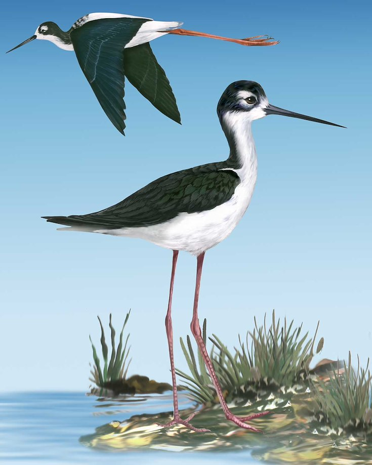 Black-necked Stilt_CEPortrait_1200