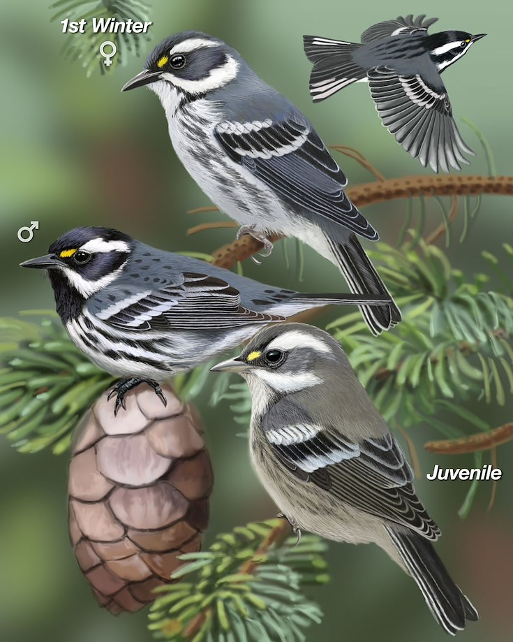 Black-throated Gray Warbler_CEPortrait_1200