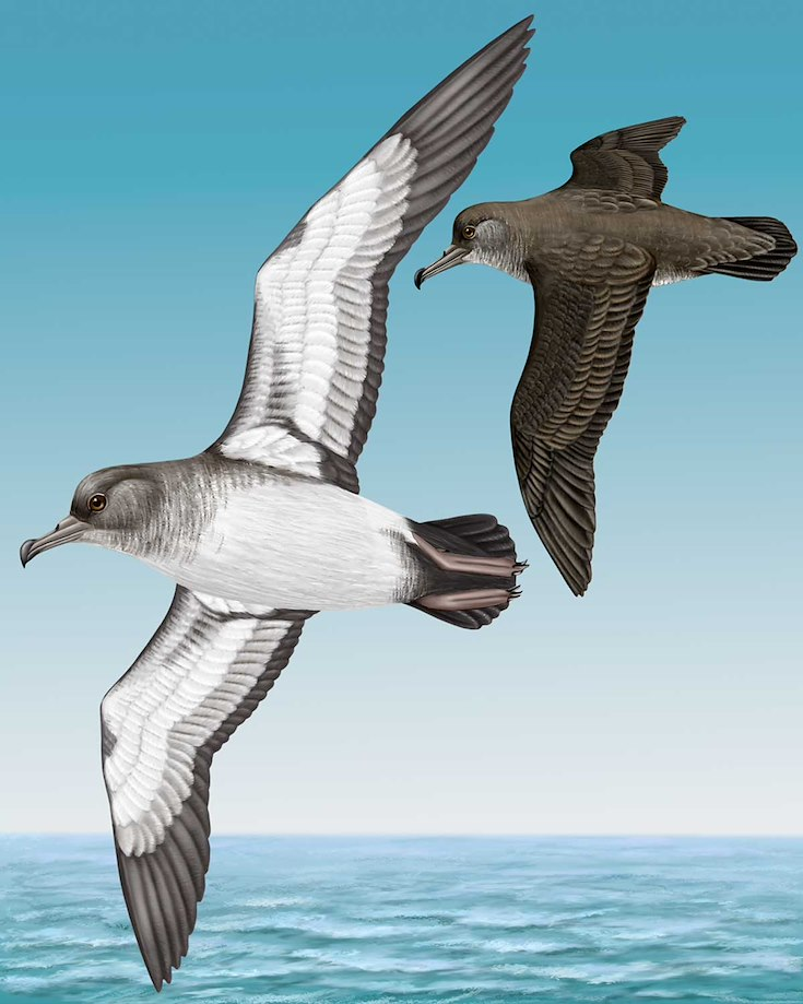 Black-vented Shearwater_CEPortrait_1200