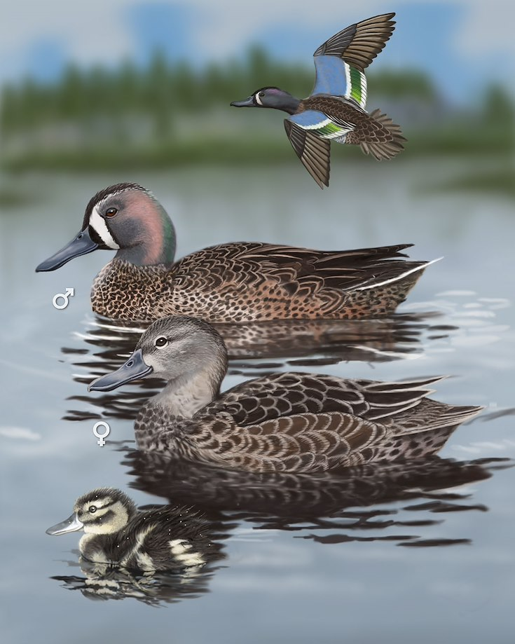 Blue-winged Teal_CEPortrait_1200