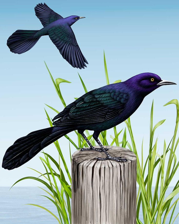 Boat-tailed Grackle_CEPortrait_1200