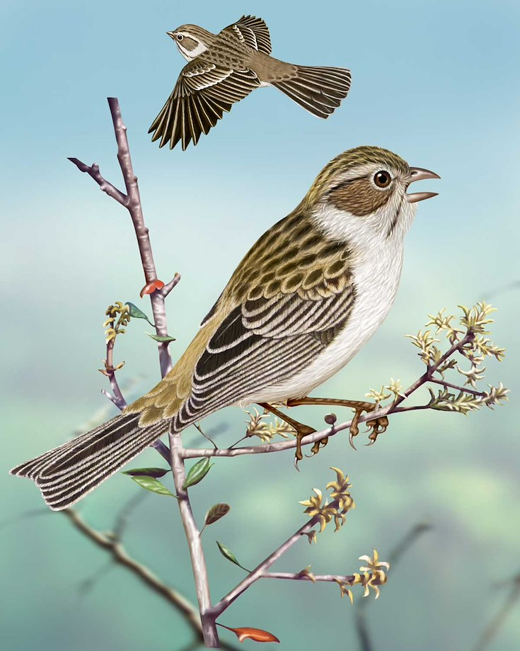 Brewer's Sparrow_CEPortrait_1200