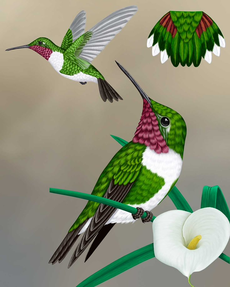 Broad-tailed Hummingbird_CEPortrait_1200