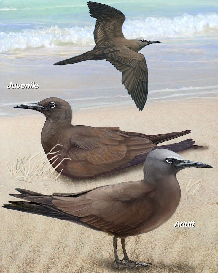 Brown Noddy_CEPortrait_1200