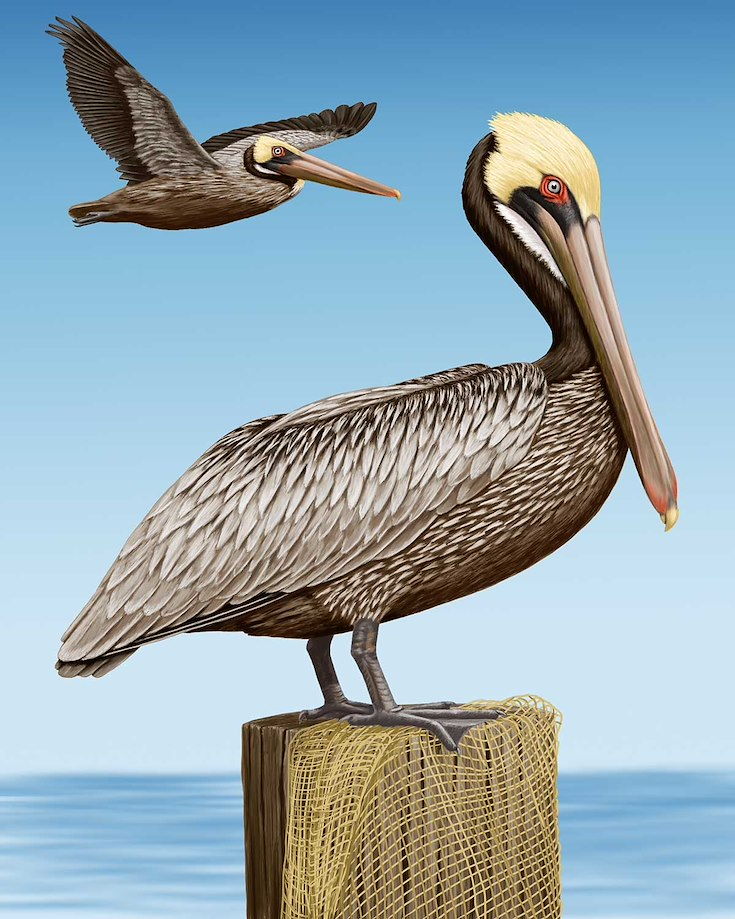 Brown Pelican_CEPortrait_1200