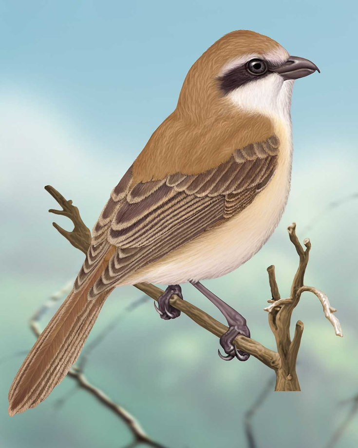 Brown Shrike_CEPortrait_1200