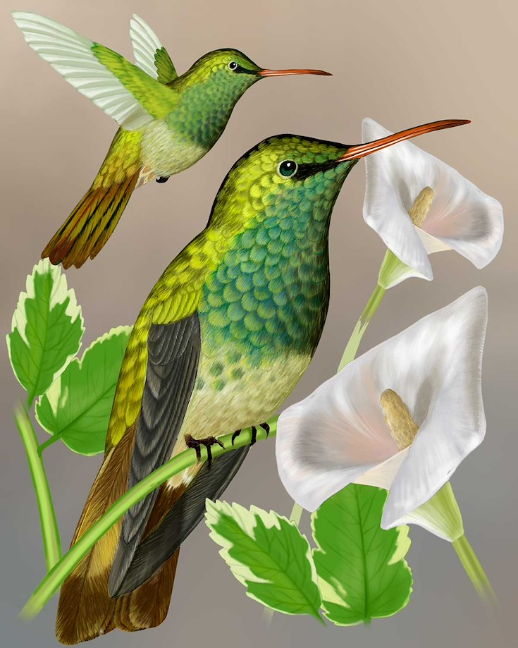 Buff-bellied Hummingbird_CEPortrait_1200