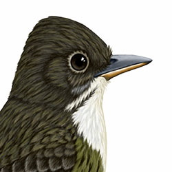 Olive-sided Flycatcher Head Illustration