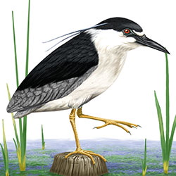 Black-crowned Night-Heron Body Illustration