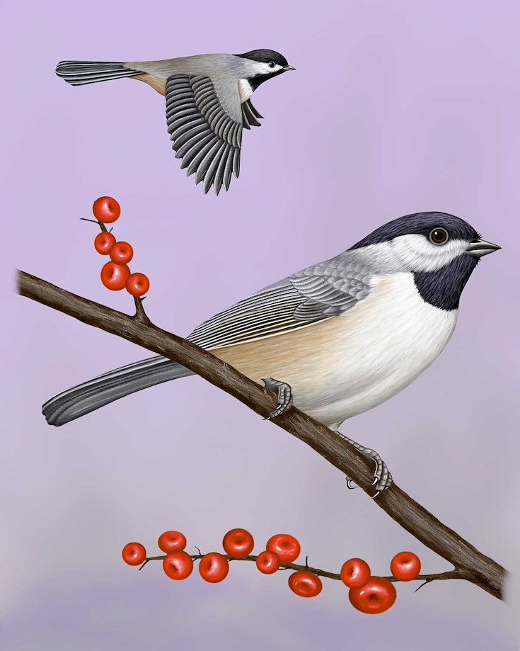 Carolina Chickadee_CEPortrait_1200