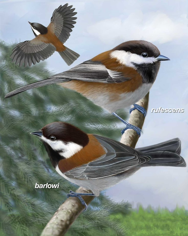 Chestnut-backed Chickadee_CEPortrait_1200
