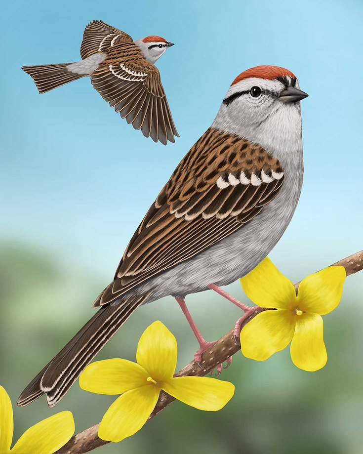 Chipping Sparrow_CEPortrait_1200