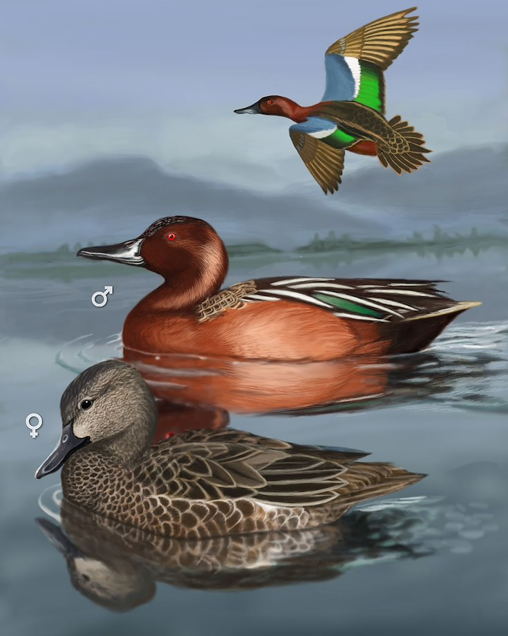 Cinnamon Teal_CEPortrait_1200